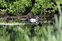 Wood Duck (m) (glenbodie) Tags: glen bodie glenbodie 201619 colony wood duck male