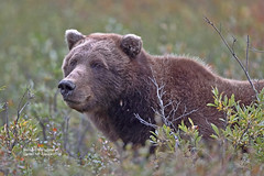 Denali Griz_4H4A8773 (bud_marschner) Tags: brownbear grizzlybear denalinationalpark alaska