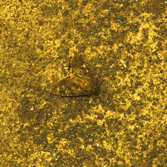 dead moth on stairs at night, gascoyne house e9, 2016-08-16, 23-16-22 (tributory) Tags: chackney london eastlondon concrete stairs stairwell brown yellow pattern speckled moth fauna death lifecycle blend blending stippled socialhousing flats black communal