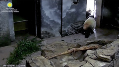 2016_09-15c (gkoo19681) Tags: beibei meixiang notready concernedmama hopeful notlistening independence ccncby nationalzoo
