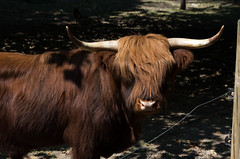 "vache (HAKUDO is busy (""_"")) Tags: vache cow  scotland france french pentax 55mm 14 parc yerres highland"