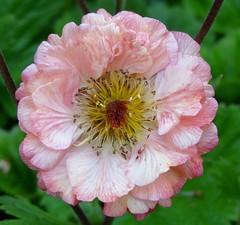 Lovely geum (2) (gomosh2) Tags: flowermacro geum pinkflower doublefantasy