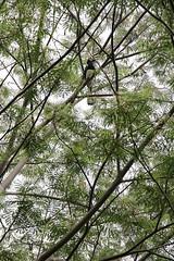 IMG_0452 (trevor.patt) Tags: palauubin singapore island hornbill bird