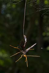 Megarhyssa atrata (Kevin Stohlgren) Tags: megarhyssa atrata giant ichneumon wasp parasite parasitic