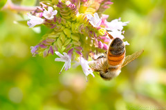 Pollination Nation At Work (raypainter) Tags: honeybee scotttucker tinygame canon hbbbt animals arthropod bee bees bokeh bug bugs california colorado eos70d folsom insects macro micro microfauna nature outdoors pollen pollinator raypainter summer sunshine wildlife ef100mm