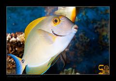 ALAIN2dussumieri6445 (kactusficus) Tags: marine reef aquarium alain captive ecosystem rcifal acanthuridae chirurgien surgeonfish tang acanthurus dussumieri
