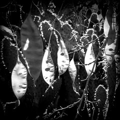 The Seeds Of Tomorrow (Dom Guillochon) Tags: noiretblanc desert garden plants pods life sunlight seeds tomorrow time earth nature
