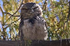 Tawny Frogmouth (Luke6876) Tags: tawnyfrogmouth frogmouth bird animal wildlife australianwildlife