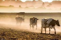 27092016-DSC_0123 (vidjanma) Tags: vaches brume poussire troupeau
