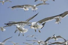 mouettes (British_Pest_Control_Association) Tags: mouette mer vol vacances oiseau voler maroc essaouira france