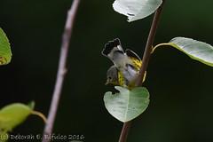 Hard to resist (dbifulco) Tags: mawa birds magnoliawarbler nature newjersey nikkor300f4pfed serviceberry shadbush wildlife yard