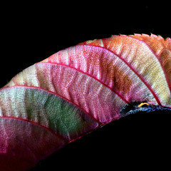 Autumnal Chameleon (dawn_macroart) Tags: otganic leaf autumnmulticoloured pink orange green yellow textures form naturalcolours lines
