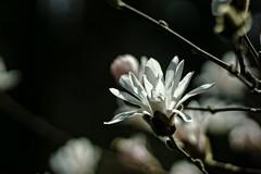 *** (pszcz9) Tags: polska poland przyroda nature zblienie closeup kwiat flower magnolia arboretum bokeh wiosna spring beautifulearth sony a77