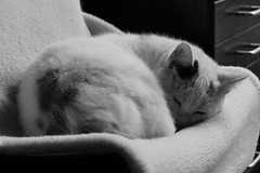 DSC01458 (olliethewino) Tags: cat blakandwhite