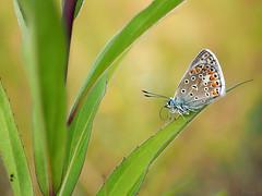 allone..... (pen3.de) Tags: penf zuiko30macro naturlicht natur wildlife butterfly schmetterling pflanze makro bluling hauhechelbluling zuiko tier insekt falter bokeh