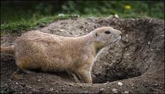 Prairie dog 2 (Darwinsgift) Tags: marmot prairie dog mammal rodent ground shepreth wildlife park england nikkor 200500mm f56 e