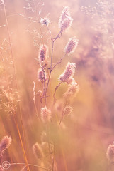 Puschels (Dirk Hoffmann Fotografie) Tags: nature macro gras wiese sunset sun light orange yellow plant