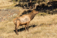 The losing Elk bull stands alone having lost his harem
