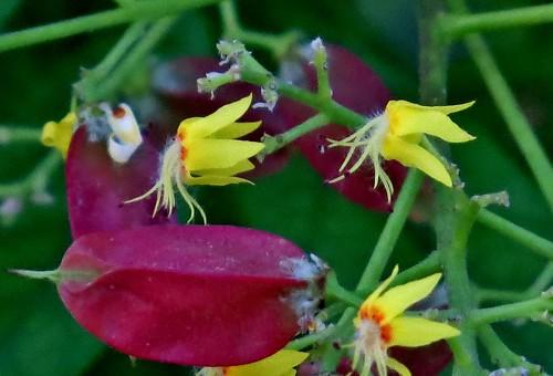 Farolillo chino en flor/Chinese lantern flower