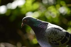 Zombie Eyed Pigeon (Matt Burke) Tags: westport lake