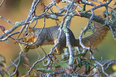Fall in the Buckeye (captured views - on and off throughout the summer) Tags: squirrels squirrel buckeyetree californiabuckeye redandgraysquirrels californiawildlife capturedviews capturedviewsphotography capturingthelivinglandscape fallcolor fallintheair fall wildlife easternfoxsquirrel