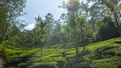 319A1737 Tea plantations of the Western Ghats, Kerala (Priscilla van Andel (Uploading database)) Tags: teaplantations westernghats kerala munnar deforestation