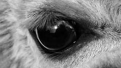 Auge eines Alpaka (Christian Knobeloch) Tags: auge sehen iris pupille alpaka tierauge