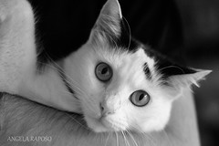 YOKO AGAIN (Angela Raposo) Tags: portrait blackandwhite pet nature animal closeup cat kitten retrato natureza gato gata yoko pretoebranco naturelove animaldomstico nikond3000