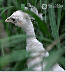 ..? / White Peacock (Ramalakshmi Rajan) Tags: birds nikon peacock mysore nikond5000 ramalakshmirajan