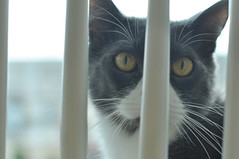 Tom Tom in the chair (Spenser.Cat) Tags: cat cute sfspca spca shelter catmove kat gato gatto katz katzen purr feline meow