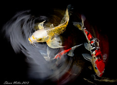 Koi swirl  - Okinawa, Japan (Okinawa Nature Photography) Tags: nature landscape pond slow photos flash m miller koi carp sync shawn swirl popup pup pon oncameraflash tokina1116mm nikond7000 fishesofokinawa fishofokinawajapan 2013natureshawn millerokinawa photographyokinawa
