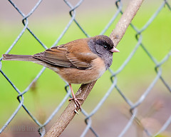 Oregon Junco on a Vine (mwbergeron01) Tags: bird fence pattern junco darkeyedjunco oregonjunco