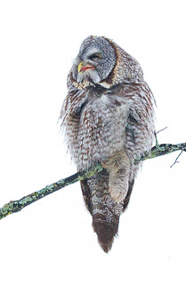 Just Chillin, - Great Gray Owl,  Ottawa, Canada
