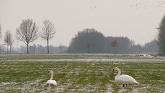 Facing west (andzwe) Tags: trees winter copyright snow holland netherlands dutch birds landscape blackwhite swan bomen zwartwit sneeuw  nederland meadow vogels scene swans weiland landschap wintry zwanen knobbelzwaan tafereel hollandslandschap facingwest panasonicfz panasoniclumixdmcfz50 nederlandslandschap andzwe zwaneninbesneeuwdlandschap swansinsnowylandscape richtingwesten