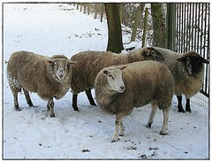 Four sheep waiting  to be fed in winter ... (Aquarius15) Tags: trees winter snow cold sheep freezing