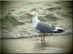 Seagull on the Baltic beach (Ostseetroll) Tags: beach seagull olympus baltic möwe ostsee e620