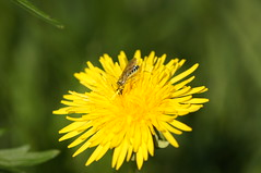 DSC02918 (Thomas Agsten Kempten) Tags: flower germany bayern deutschland bavaria hd blume 2012 4k allgu allgau lwenzahn allgaeu fullhd thomasagstenkempten