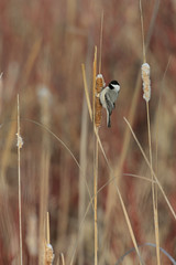 Chickadee on Cattail_40408.jpg (Mully410 * Images) Tags: winter snow cold bird birds birding cattails chickadee birdwatching blackcappedchickadee birder tcaap ahats burdr ardenhillsarmytrainingsite