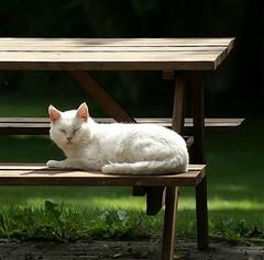 Darling old piggy-snout George (Jaedde & Sis) Tags: light white barn cat bench george ugly challengeyouwinner beautifulworldchallenges herowinner pregamewinner