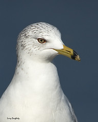 Ring-billed gull portrait image.........D800 (Larry Daugherty) Tags: bird nature fly wings nikon seagull feathers seabird d800 shorebird larusdelawarensis lakepontchartrain indianbeach 100commentgroup saariysqualitypictures bonnabelboatlaunch mygearandme nikon500mmf4lens ringbiledseagull