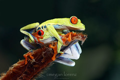 Dude!!  Seriously? (Megan Lorenz) Tags: travel wild two green nature outdoors costarica wildlife pair amphibian frog getty heliconia treefrog centralamerica redeyedtreefrog sarapiqui gaudyleaffrog mlorenz meganlorenz photocontesttnc13