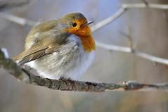 European Robin (jd.echenard) Tags: bird erithacusrubecula erithacus aves oiseau europeanrobin animalia rougegorge rotkehlchen passeriformes mfcc pettirosso chordata muscicapidae petirrojoeuropeo fabuleuse