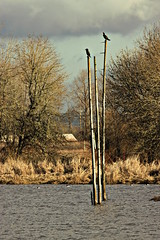 Cormorants (CleanCletus) Tags: birds cormorants fernhillwetlands