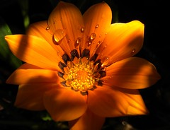 Gazania (k2sleddogs) Tags: flowers summer flower blossoms gazania blooms k2sleddogs