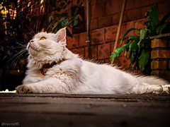 Minha Branquela (rvcroffi) Tags: pet cats white nature beautiful branco cat pose kitten awesome posing down olympus gato gata lovely lying hdr branca hdri deitado gatinha deitada 565uz