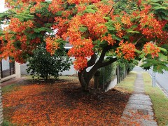 Under a Poinciana tree