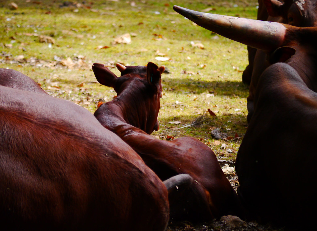The world 39 s most recently posted photos of calf and watusi for Zoo yvelines 78