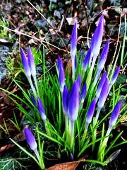 Frhling in Sicht (Heide (vorher roeschen56)) Tags: natur blumen lila