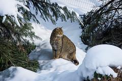 Wildpark Feldkirch Winter-045 (Exposured Impressions) Tags: winter feldkirch sterreich wolf wildpark vorarlberg luchs sigma70200