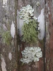 Lichen Study (thegardenbuzz) Tags: hairy green beard florida gray lichens usnea foliose leaflike